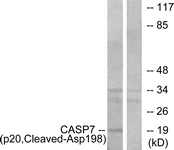 L0165-1 - Caspase-7