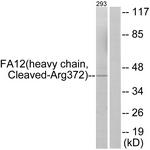 L0203-1 - Coagulation factor XII (F12)