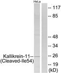 L0303-1 - KLK11 / Kallikrein-11
