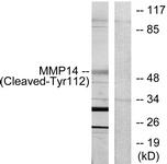 L0322-1 - MMP-14 / MT1-MMP