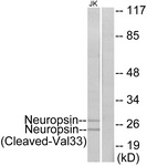 L0345-1 - KLK8 / Kallikrein-8