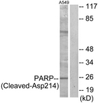 L0365-1 - PARP1