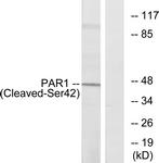 L0374-1 - Thrombin receptor / F2R