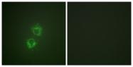 A0758-1 - 14-3-3 protein theta