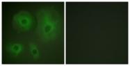 B0758-1 - 14-3-3 protein theta