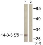 B0759-1 - 14-3-3 protein zeta/delta