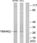 C12006-1 - 14-3-3 protein theta