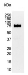 BM2431P - CD44