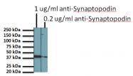 BM5086P - Synaptopodin / SYNPO