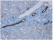 BM6003P - Cytokeratin 7