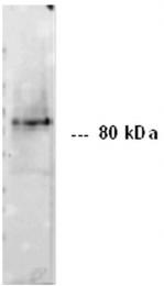 BM6018P - CD324 / Cadherin-1