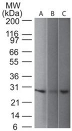 BM699PS - UCHL1 / PGP9.5