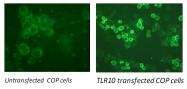DDX0490P-50 - CD290 / TLR10