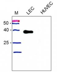 DM3500P - Podoplanin