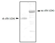 DM3507 - VEGFR-1 / Flt-1