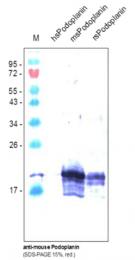 DM3516B - Podoplanin