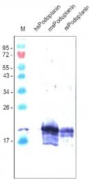 DM3516P - Podoplanin