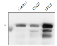 DM3523P - CD309 / VEGFR-2 / Flk-1