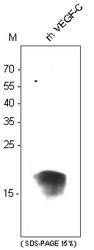 DM3528 - VEGF-C / Flt4-L