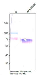 DM3612P - CD105 / Endoglin