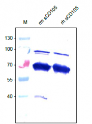 DP3517P - CD105 / Endoglin