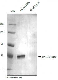 DP3518P - CD105 / Endoglin