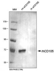DP3518 - CD105 / Endoglin
