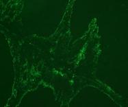 DDX0474A488-50 - CD283 / TLR3