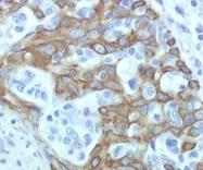 DDX0475A488-50 - CD283 / TLR3