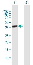 H00000135-B01P - Adenosine receptor A2a