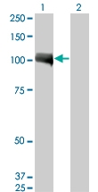 H00000196-M02 - Ah receptor / AhR