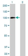 H00000196-M03 - Ah receptor / AhR