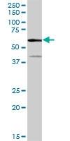 H00000279-B01 - Alpha-amylase 2A / AMY2A