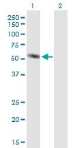 H00000279-B01P - Alpha-amylase 2A / AMY2A