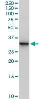H00000308-B01P - Annexin A5 / ANXA5