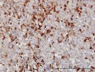 H00000336-M01 - Apolipoprotein A II / Apo AII