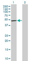 H00000337-D01P - Apolipoprotein A IV / ApoA4