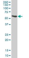 H00000350-B01 - Apolipoprotein H (Apo H)