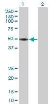 H00000350-B01P - Apolipoprotein H / Apo H
