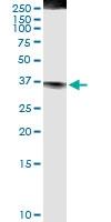 H00000356-D01 - CD178 / Fas Ligand
