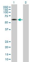 H00000372-B01P - Coatomer subunit delta (COPD)