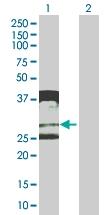 H00000374-B01 - Amphiregulin