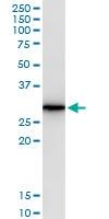 H00000374-M06 - Amphiregulin