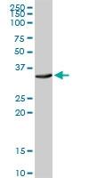 H00000483-D01 - CD298 / ATP1B3