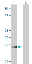 H00000534-M02 - ATP6V1G2