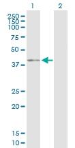 H00000648-D01P - BMI-1 / RNF51