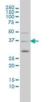 H00000648-M02 - BMI-1 / RNF51