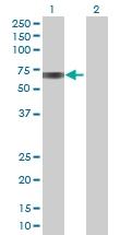 H00000686-B01 - Biotinidase