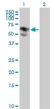H00000686-M01 - Biotinidase