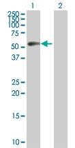 H00000891-D01P - Cyclin B1
